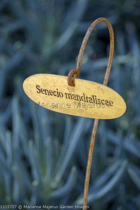 Hand inscribed label for Senecio mandraliscae