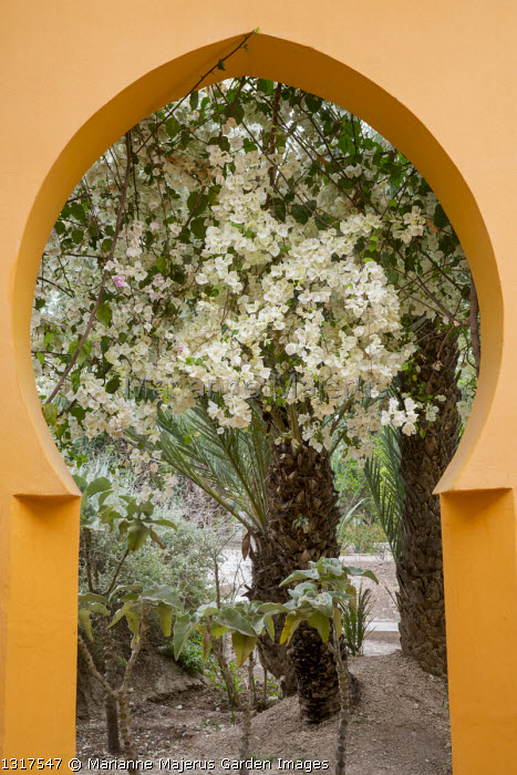 Bougainvillea framed by orange painted archway
