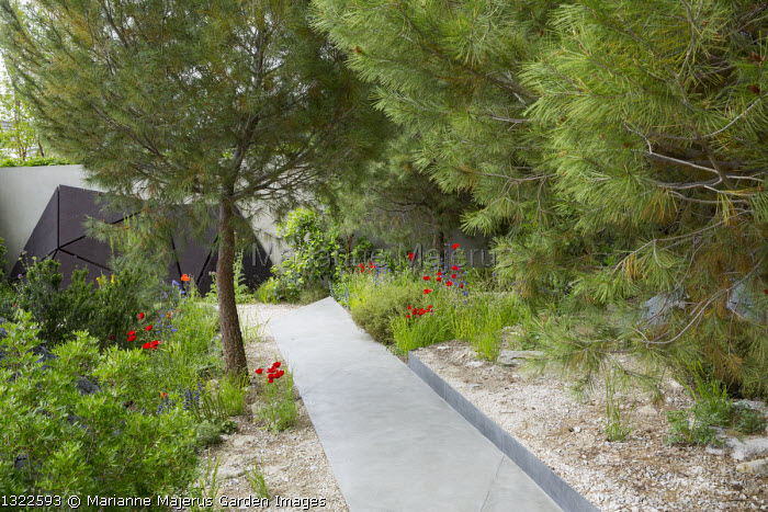 Pinus halepensis, Papaver rhoeas, stone path through mediterranean garden