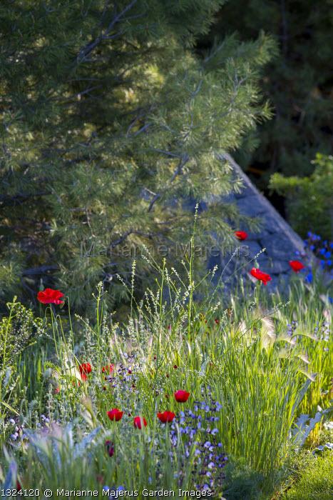 Pinus halepensis, Papaver rhoeas, salvia, Crambe hispanica, Hordeum vulgare