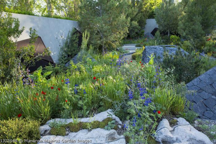Contemporary mediterranean garden, Lupinus pilosus, Papaver rhoeas