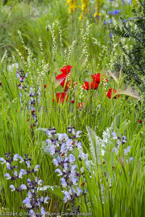 Papaver rhoeas, Salvia pratensis, Hordeum vulgare, Crambe hispanica