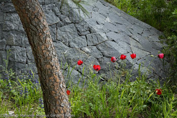 Black basalt stone pyramid, Pinus halepensis, Papaver rhoeas