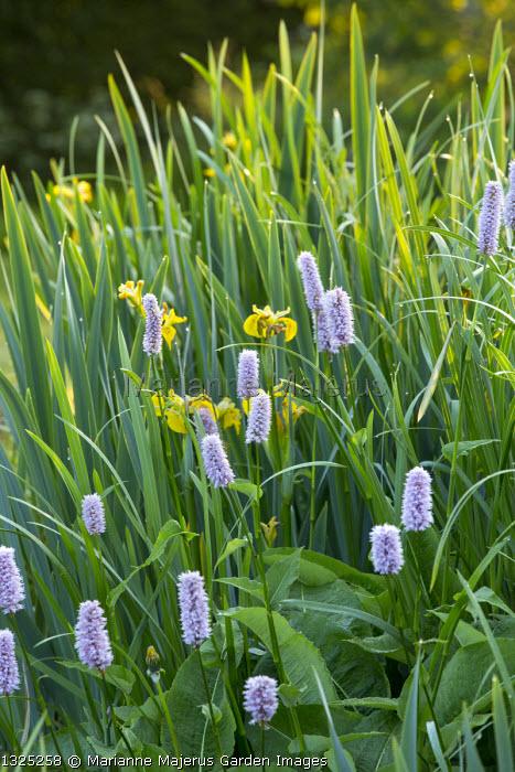Gunnera manicata, Iris pseudacorus and Persicaria bistorta 'Superba' by natural pond