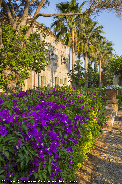 Bougainvillea on wall, palm trees