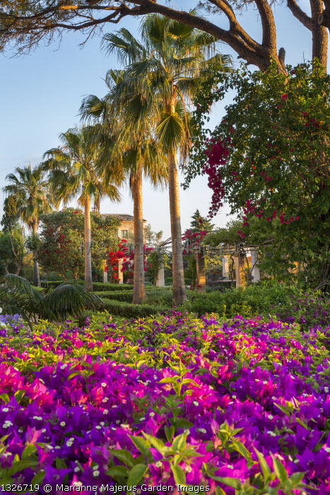 Bougainvillea on wall, row of palm trees