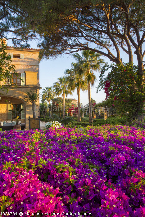 Carpet of bougainvillea, row of palm trees