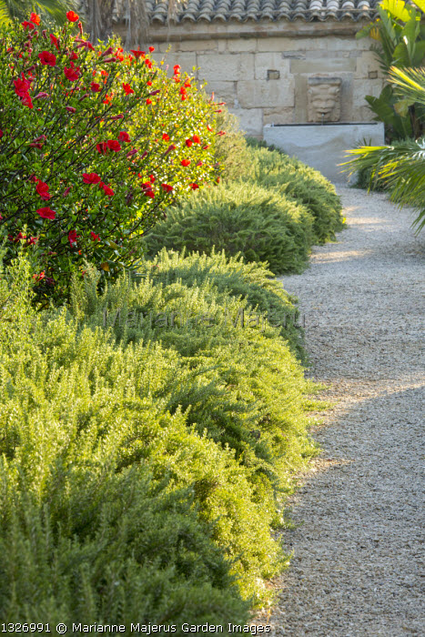 Rosemary edging gravel path, Hibiscus rosa-sinensis