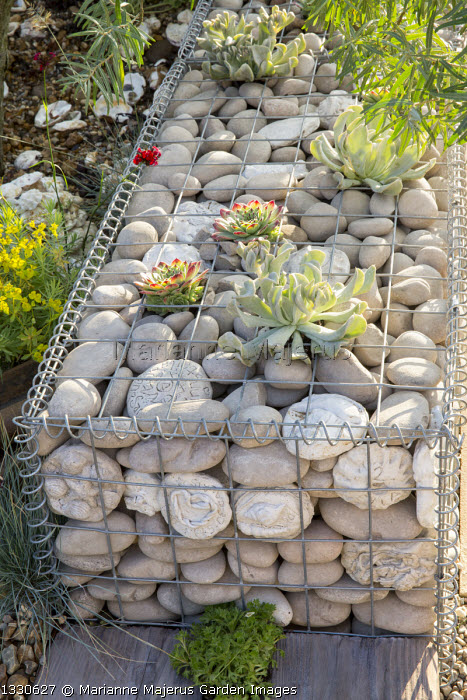 Sempervivums and succulents in stone-filled gabion