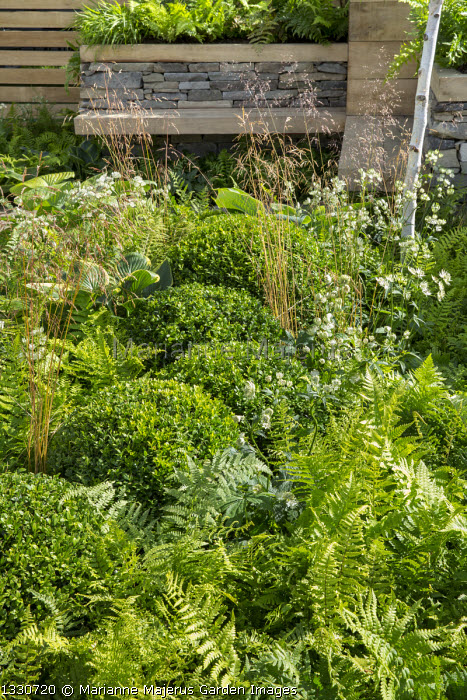 Clipped box balls in border amongst Dryopteris filix-mas, Astrantia major 'Alba' and Deschampsia cespitosa, built-in wooden benches by dry-stone wall, hosta