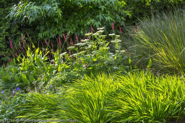 Anemanthele lessoniana syn. Stipa arundinacea, Persicaria amplexicaulis, Selinum wallichianum, Hakonechloa macra