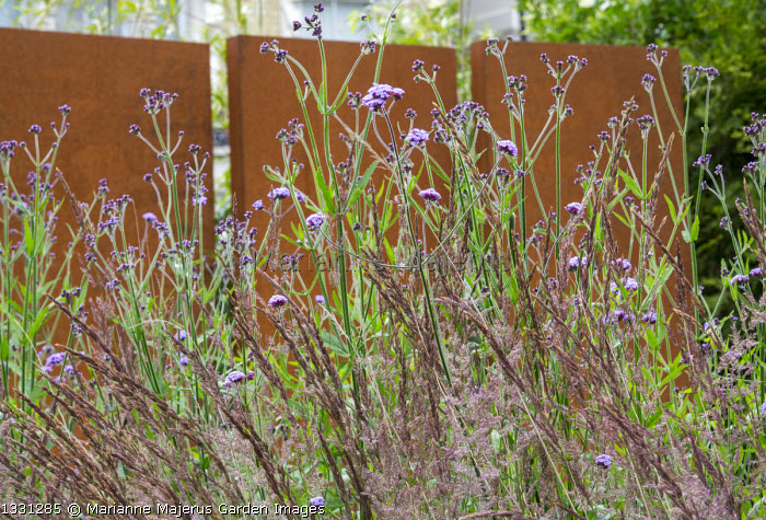 Cor-ten steel wall, Verbena bonariensis, Calamagrostis x acutiflora 'Karl Foerster'