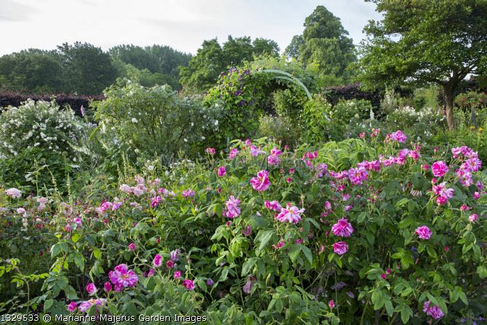 Rosa gallica 'Versicolor' in rose garden