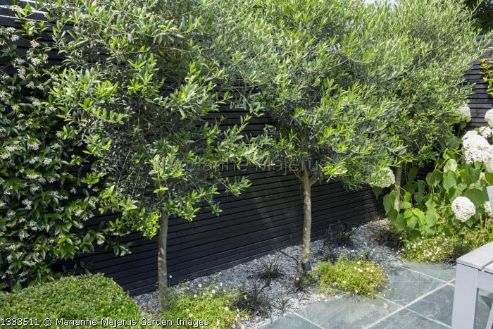 Olea europaea, Erigeron karvinskianus, black painted trellis fence, Ophiopogon planiscapus 'Black Dragon', Hydrangea arborescens 'Annabelle'