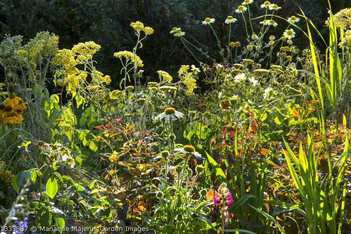 Echinacea purpurea 'Virgin', Achillea 'Moonshine', Lysimachia ciliata 'Firecracker'