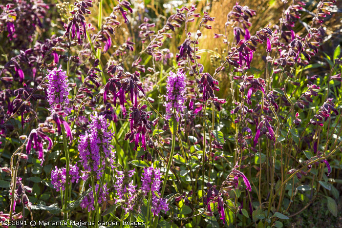 Salvia 'Love and Wishes', Stachys officinalis 'Hummelo'