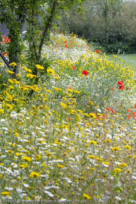 Wildflower meadow, Glebionis segetum, Leucanthemum vulgare, Papaver rhoeas