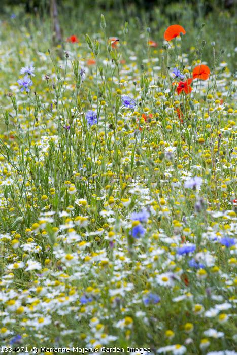 Wildflower meadow, Leucanthemum vulgare, Papaver rhoeas, Centaurea cyanus