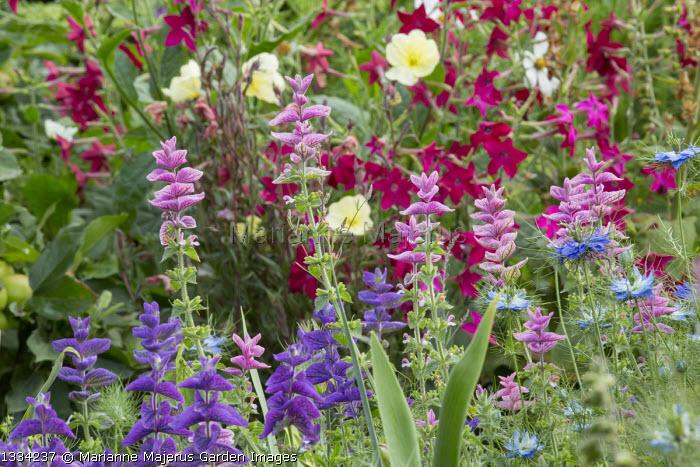 Salvia viridis, nicotiana, Nigella damascena, oenothera