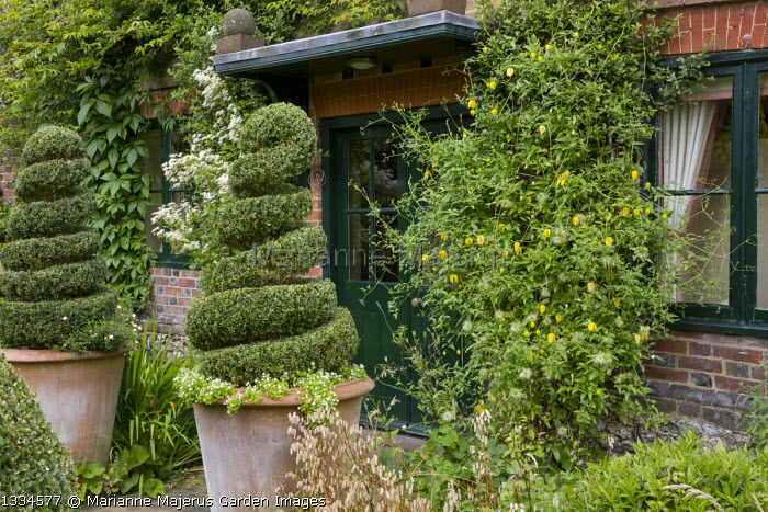 Clipped box topiary spirals in large terracotta pots by front door, Clematis tangutica
