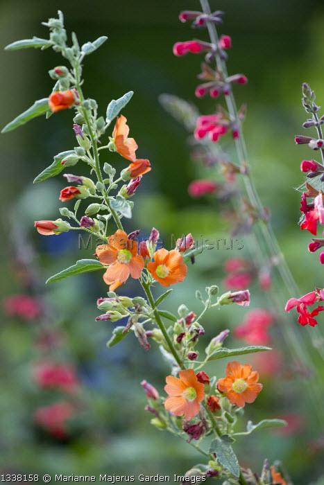 Sphaeralcea incana 'Sourup', Salvia darcyi