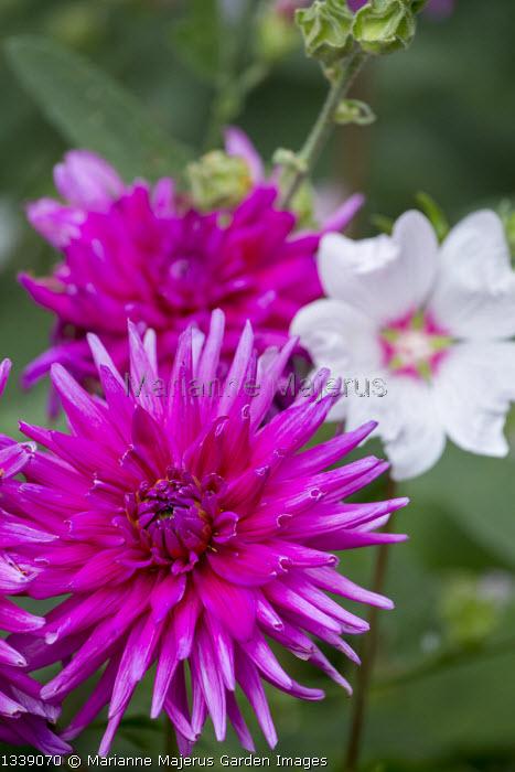Dahlia 'Purple Gem', Lavatera x clementii 'Barnsley'