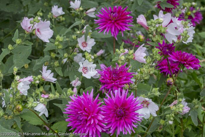 Lavatera x clementii 'Barnsley' Dahlia 'Purple Gem'