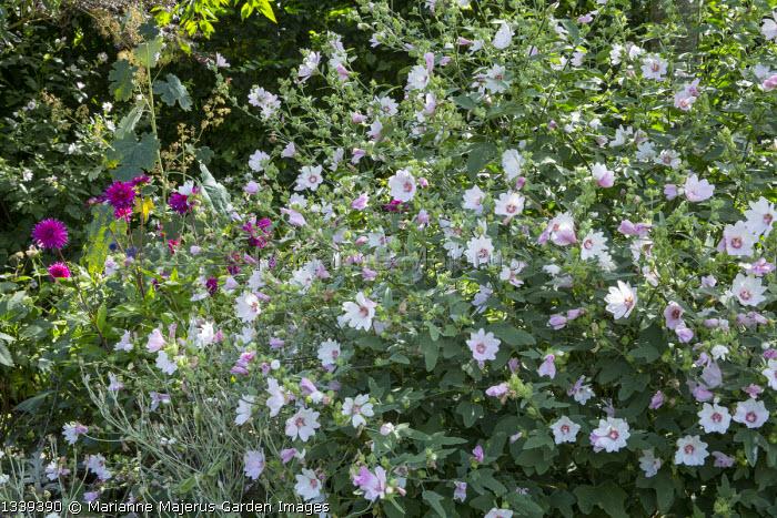 Lavatera x clementii 'Barnsley' Dahlia 'Purple Gem', macleaya