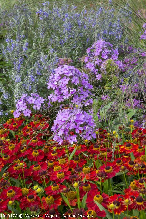 Phlox, helenium, molinia, Scutellaria incana