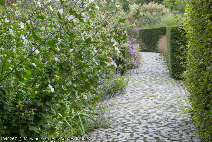 Granite sett path, lavatera