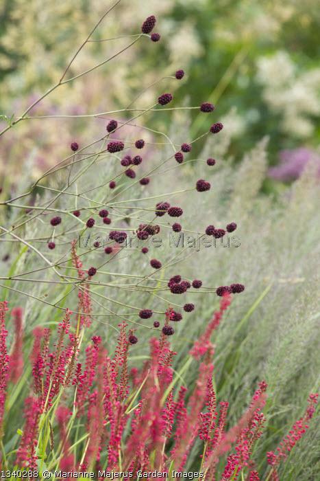 Sanguisorba officinalis 'Red Thunder', Persicaria amplexicaulis, Calamagrostis brachytricha