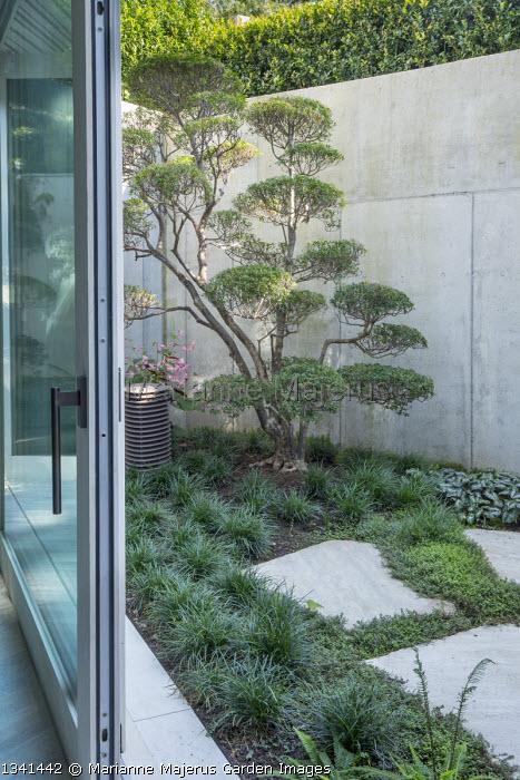 Cloud-pruned Enkianthus campanulatus niwaki bonsai in basement courtyard, stone wall, Ophiopogon japonicus