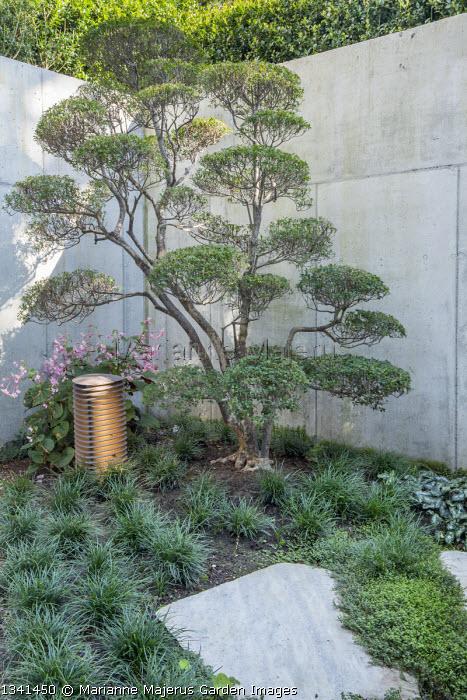 Cloud-pruned Enkianthus campanulatus niwaki bonsai in basement courtyard, stone wall, Begonia grandis subsp. evansiana, Ophiopogon japonicus, Isotoma fluviatilis