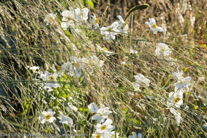 Anemone x hybrida 'Honorine Jobert', Molinia caerulea subsp. arundinacea 'Transparent'