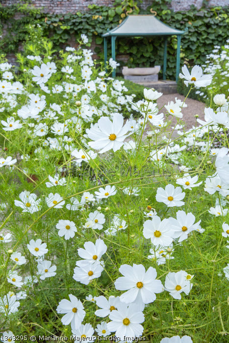 Cosmos bipinnatus 'Purity' in pots around circular pond in formal garden
