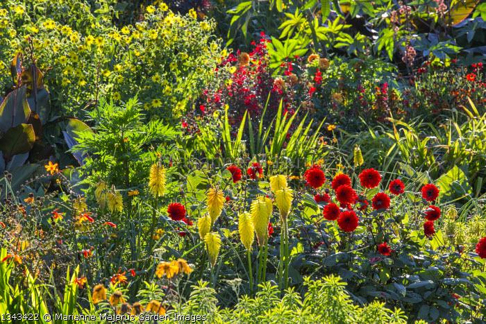 Exotic border, Canna 'Wyoming', Kniphofia 'Wrexham Buttercup', Euphorbia epithymoides, Dahlia 'Kung Fu', Helianthus 'Lemon Queen', Crocosmia × crocosmiiflora 'Star of the East', Lobelia cardinalis, helenium