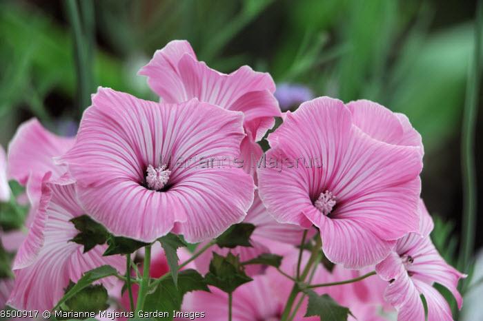 Lavatera trimestris 'Beauty'
