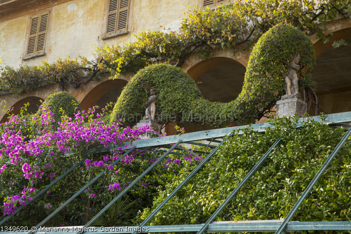 Bougainvillea climbing over metal frame, limes