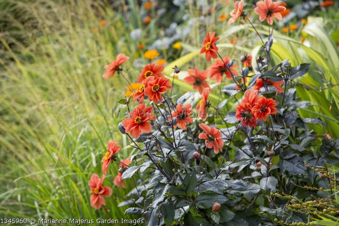 Dahlia 'Catherine Deneuve', Molinia caerulea subsp. caerulea 'Variegata'
