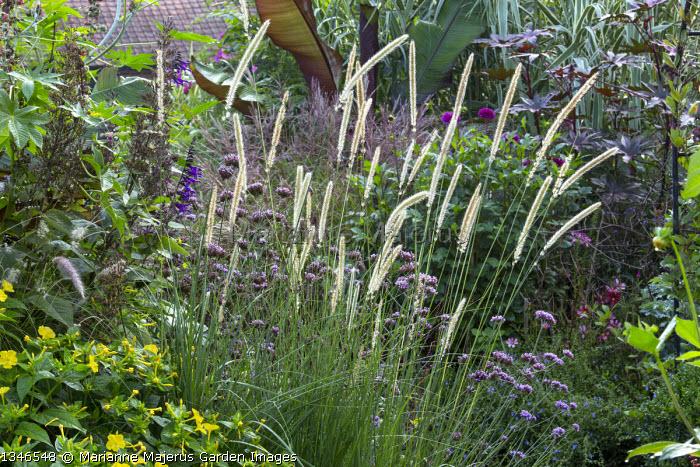 Pennisetum macrourum, Verbena bonariensis, Ricinus communis, Mirabilis jalapa