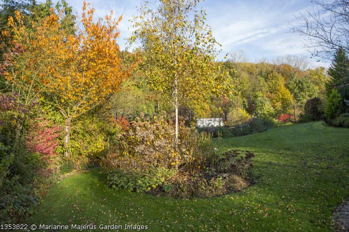 Autumn garden, Prunus 'Accolade',  Euonymus alatus 'Compactus'