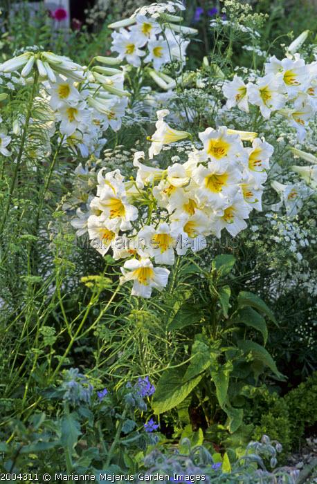 Lilium regale, Ammi majus