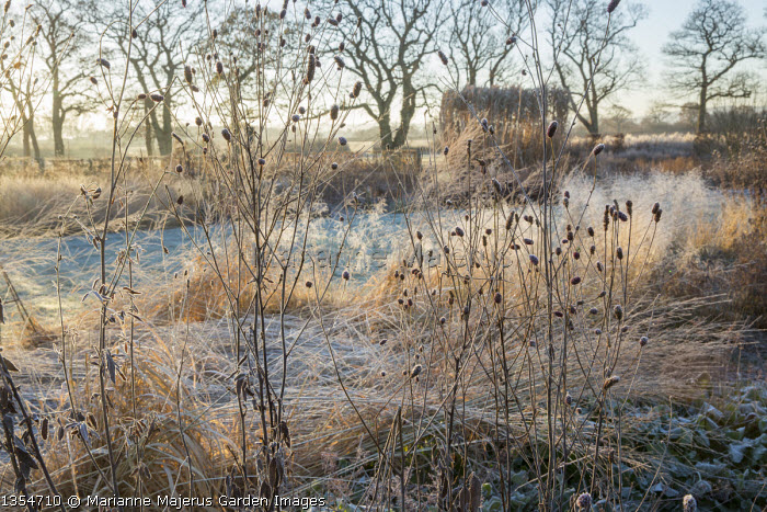 Sanguisorba 'Cangshan Cranberry' seedheads in winter, molinia, deschampsia
