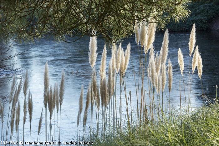 Cortaderia selloana by frozen lake
