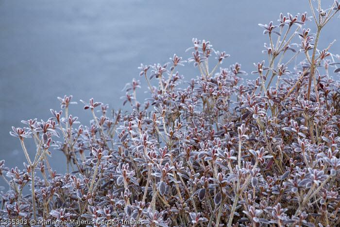 Azalea japonica 'Johanna' by frozen pond