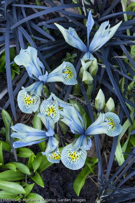 Iris 'Katharine Hodgkin', Ophiopogon planiscapus 'Nigrescens',