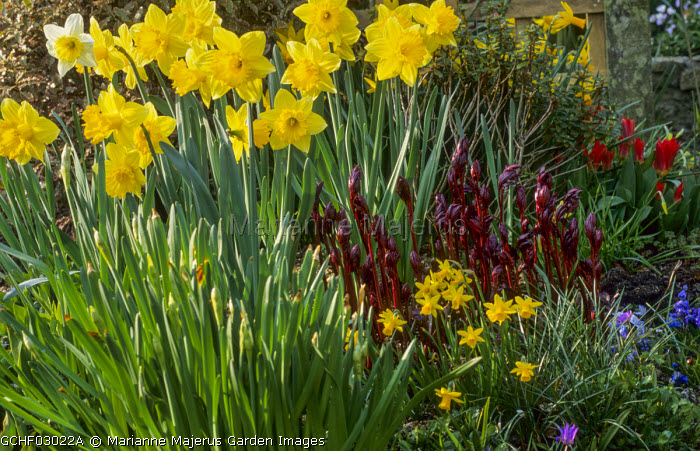 Daffodils, young paeonia shoots, Narcissus 'Tete-a-Tete', Tulipa 'Scarlet Baby'