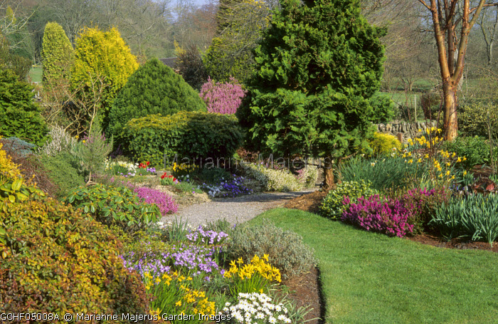 Spring garden, daffodils, Anemone blanda and heathers in borders, conifers