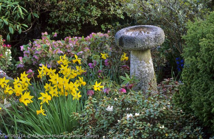 Daffodils, Helleborus x hybridus, bird bath