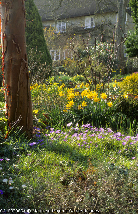 Acer griseum, daffodils, Anemone blanda, view to thatched cottage